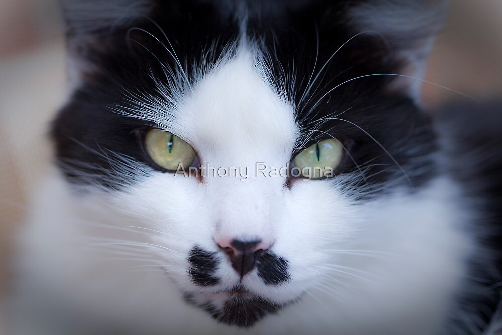 Cat Called Chicco by Anthony Radogna