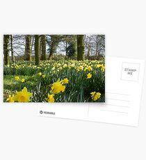 Spring Daffodils Postcards