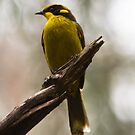 Helmeted Honeyeater Lichenostomus cassidix by David  Piko