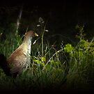 Tasmanian Native Hen by Josie Jackson