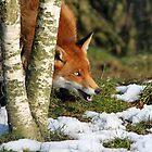 Red Fox by Christopher Lloyd