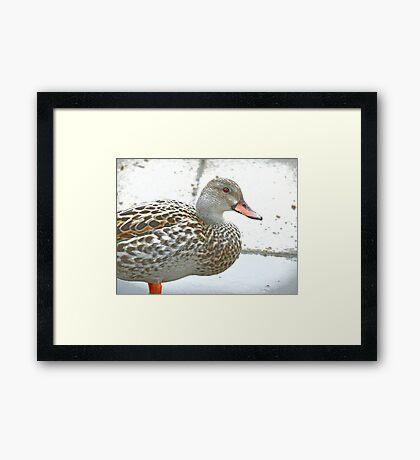 Female Dabbling Duck Framed Print