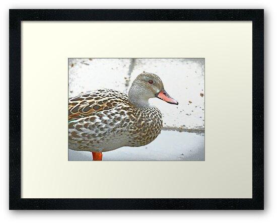 Female Dabbling Duck by CreativeEm