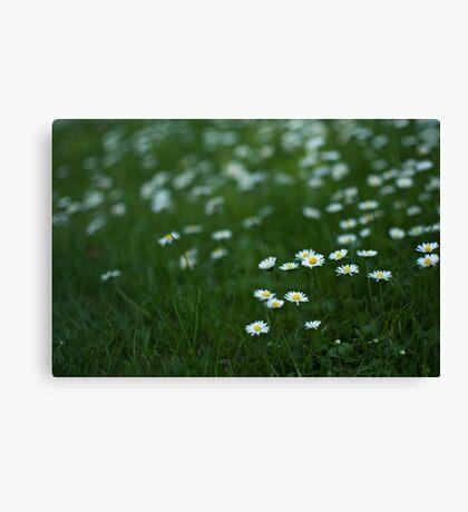 Little white daisies Canvas Print