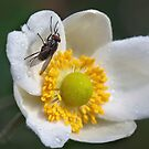 Common Housefly (Musca domestica) by Ann  Palframan