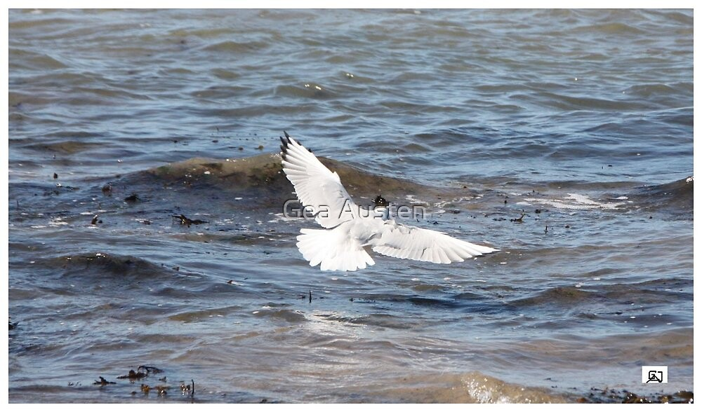 TERN IN FLIGHT WESTWARD HO! by Gea Austen