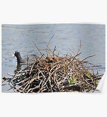 chicks in nest Poster