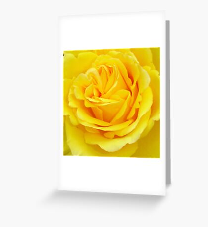 Beautiful Yellow Rose Closeup  Greeting Card