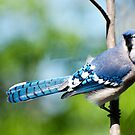 American Blue Jay 2  by barnsis