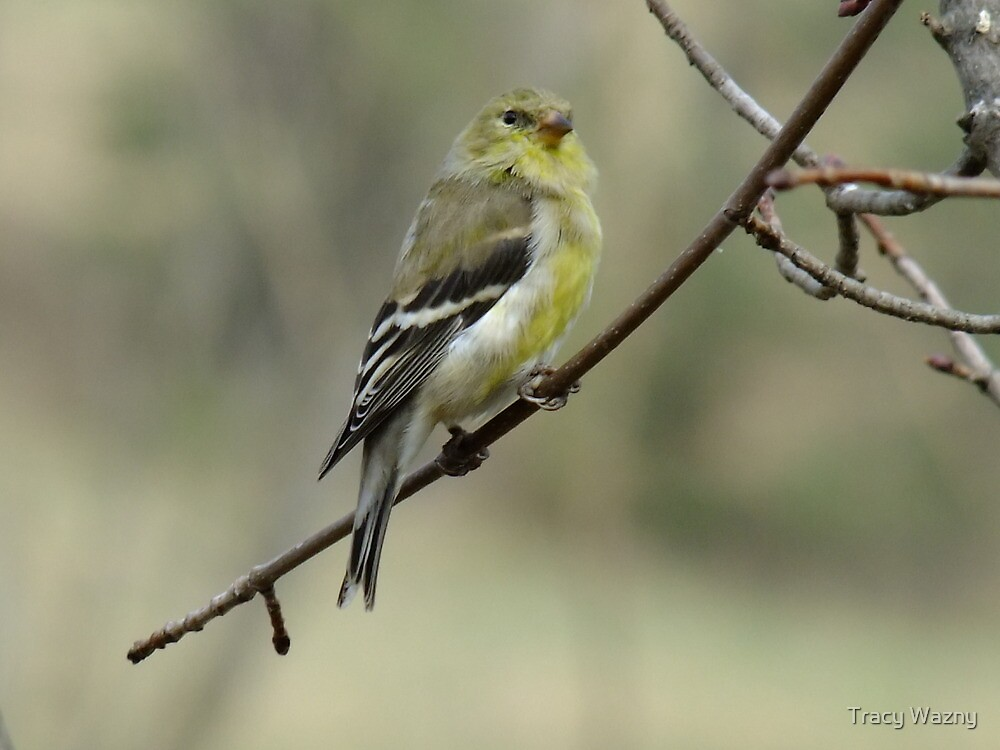 Female American Goldfinch by Tracy Wazny