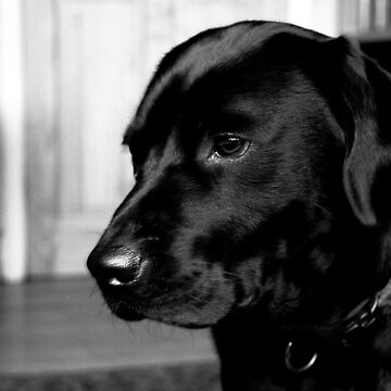 Lola; The Black Labrador by marcogolfo