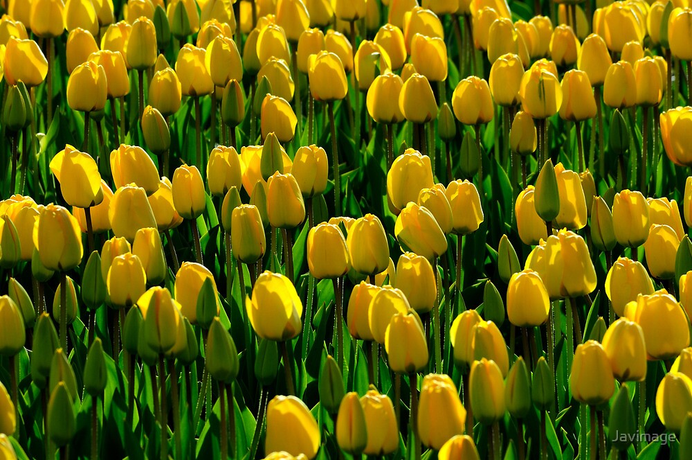 Spring symphony in yellow and green by Javimage