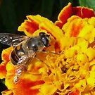 Bug (Erystalis tenax) and flower macro. by presbi