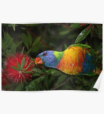grass parrot in bottle brush Poster
