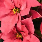 Hot Pink Poinsettias a la Georgia O'Keeffe by Georgia Mizuleva