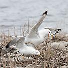 Another Bucking Gull by DigitallyStill