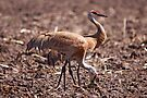 Mr and Mrs Sandhill Crane by Vickie Emms