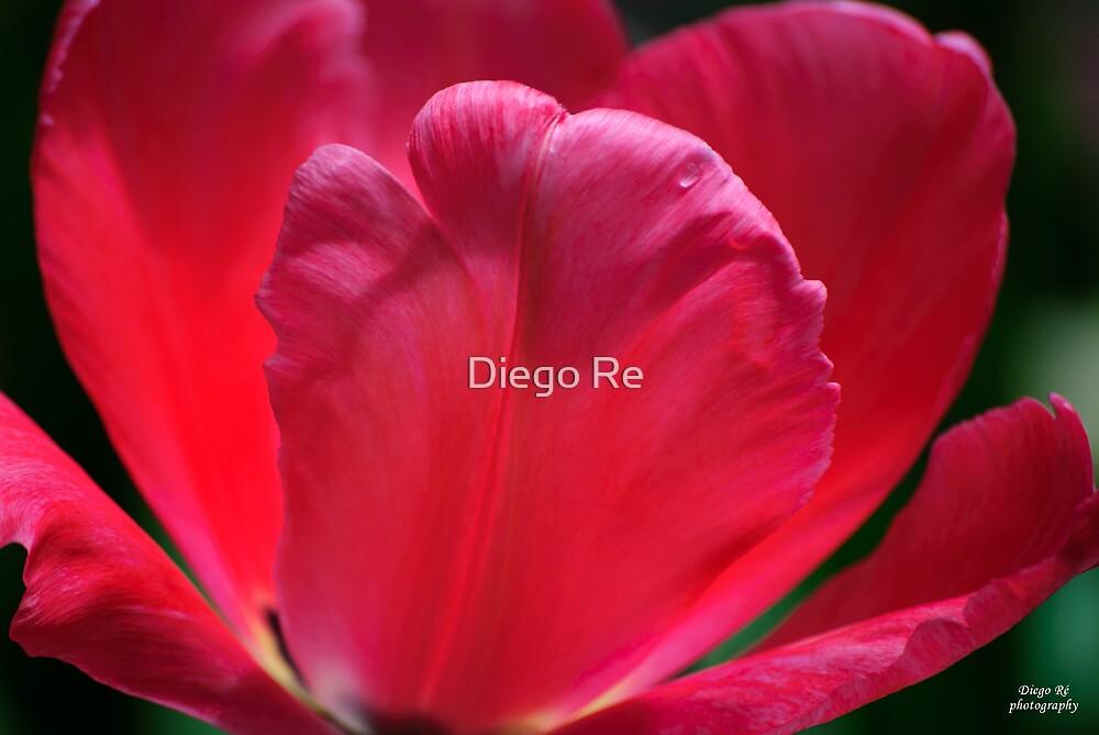 Tulip Petals by Diego Re