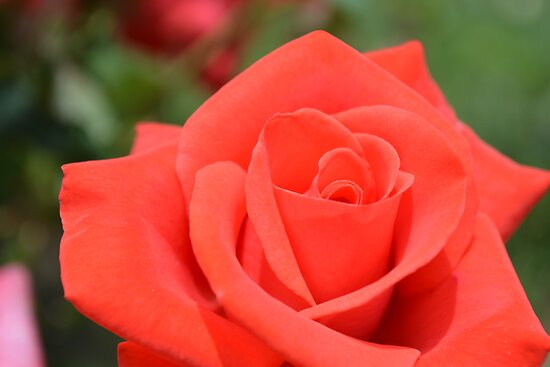 Red Rose by TheaShutterbug