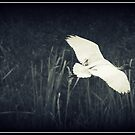 Ibis Dreaming  by Louise Linossi Telfer