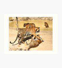 Bengal Tigers PLaying Art Print