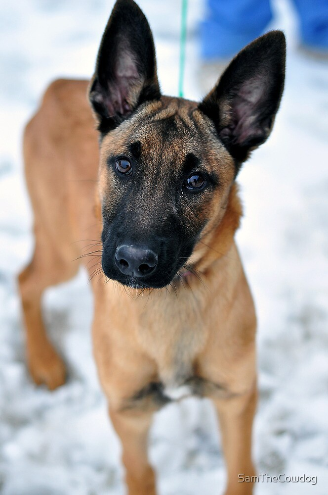 Portrait of Ruby, the Malinois by SamTheCowdog