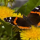 Red Admiral Butterfly by Megan Noble