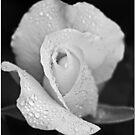 Iceberg Rose by Chet  King