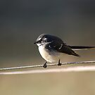 Fantail Delight by adbetron