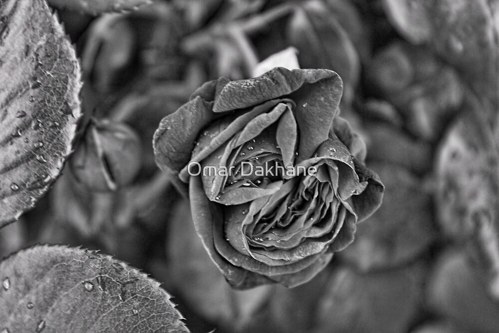 Macro Rose by Omar Dakhane