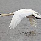 Swan in Flight by George Cox