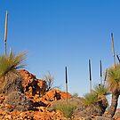 Arkaroola Grass Trees 3 by Richard  Windeyer