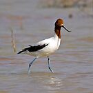 Red Necked Avocet by Richard  Windeyer