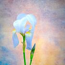 Iris.....2012 by DaveHrusecky