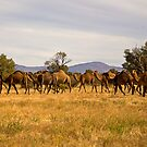 Camel Herd by Richard  Windeyer