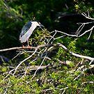 """""""  Black- Crowned Night Heron  """" by fortner"""