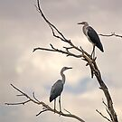 Pacific Herons by Richard  Windeyer
