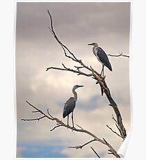 Pacific Herons Poster