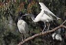 Juvenlie Australian White Ibis Begging by Carole-Anne