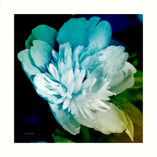 Blue Peony Flower by Christina Rollo
