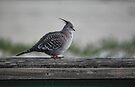Crested Pigeon by yolanda