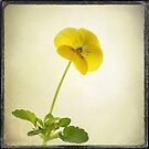 Stepmother Flower by Aase