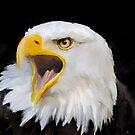 Bald Eagle by John Ryan