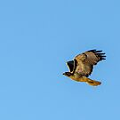 Red Tailed Hawk by J. Michael Runyon