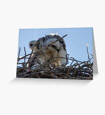 Red Tailed Hawk Chicks Greeting Card