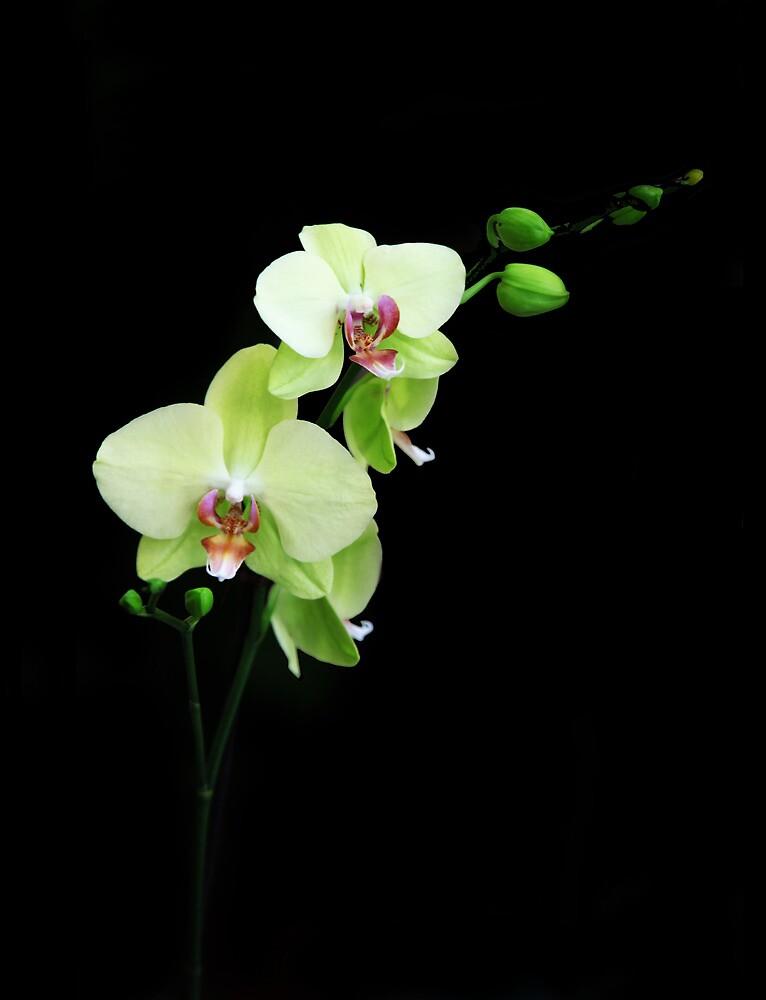 Yellow orchid by Rossen Stanoev