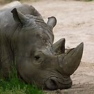 Napping Rhino by Anthony Roma