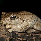 Peron's Tree Frog - Litoria peronii by Andrew Trevor-Jones