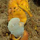 Pot-bellied Seahorse - Hippocampus abdominalis by Andrew Trevor-Jones