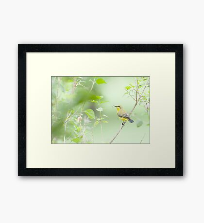 Bird in the bush - honey eater  Framed Print